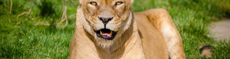 Lioness chewing and staring at camera lying on grass